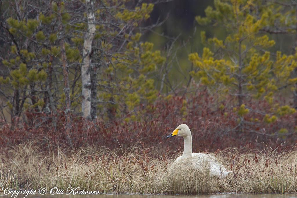 laulujoutsen, whooper swan