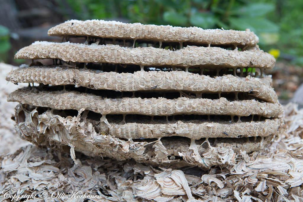 Suuri kuusikerroksinen ampiaispesä