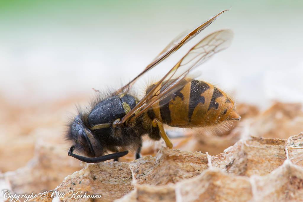 Pesään kuollut ampiainen lähikuvassa