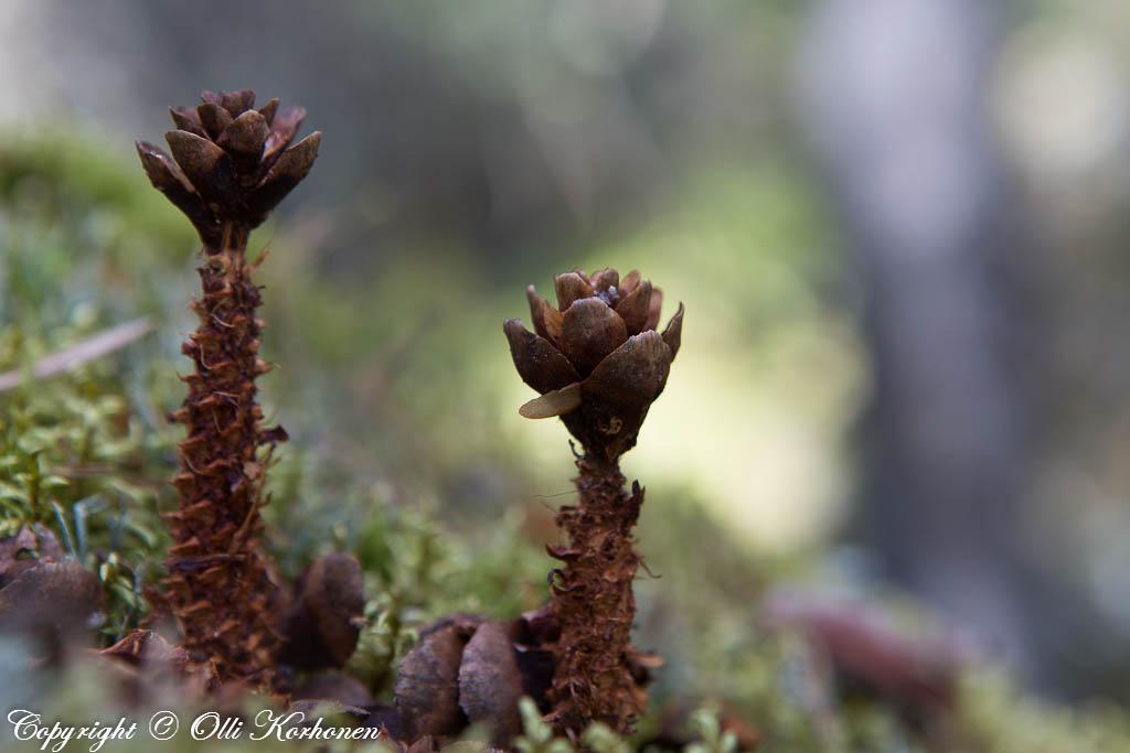 Oravan kuusenkäpyasetelma