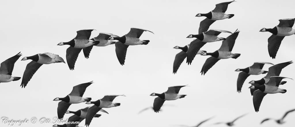 valkoposkihanhiparvi lentää ohi.