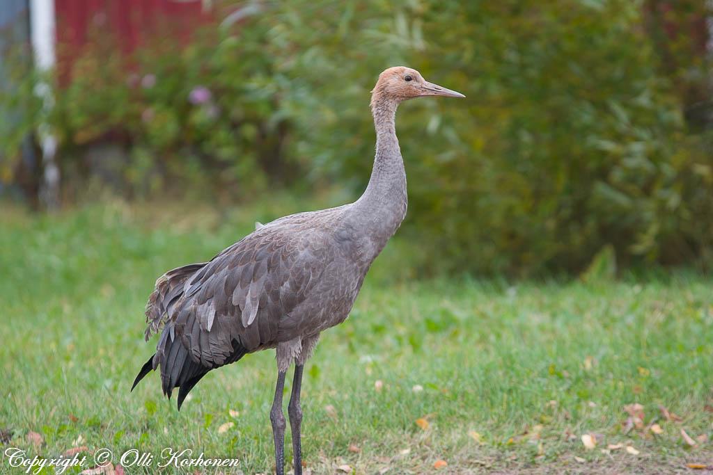 kurki, common crane, grue cendrée, grus grus, trana, Kranich, c