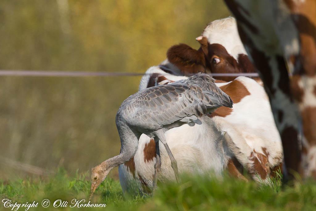 nuori, kurki, lehmä