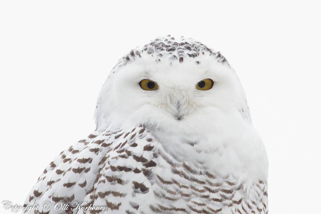 snowy wwl, tunturipöllö, bubo scandiacus, Harfang des neiges, schnee-eule, fjälluggla
