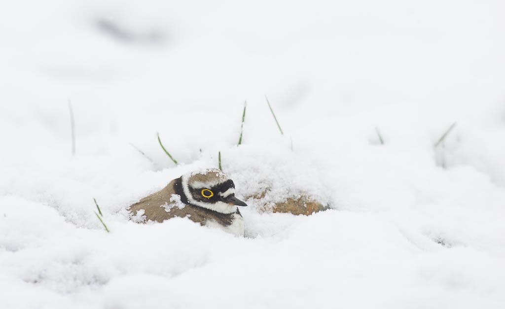 Pikkutylli hautoo lumen peittämänä.