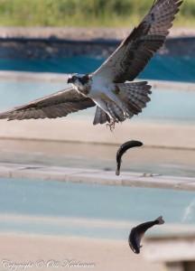 sääkisi, kalasääski. osprey, two fish