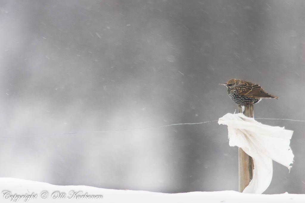 kottarainen lumituiskussa,starling in snow storm.