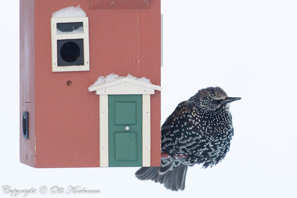 kottarainen,starling,talvi,winter,bird feeder