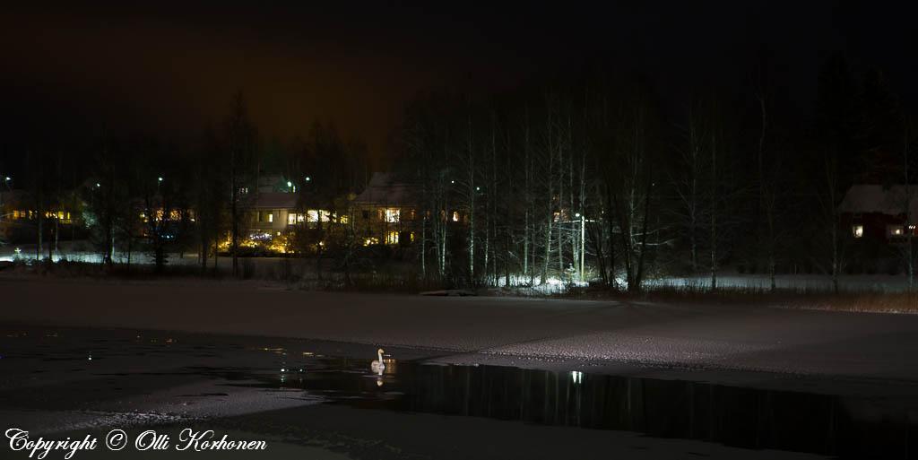 Laulujoutsen talviyönä jäätyvässä joessa.