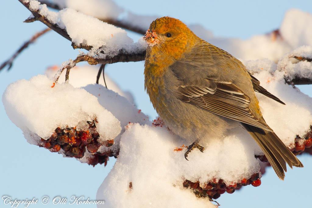 Taviokuurna ja lumisia pihlajanmarjoja