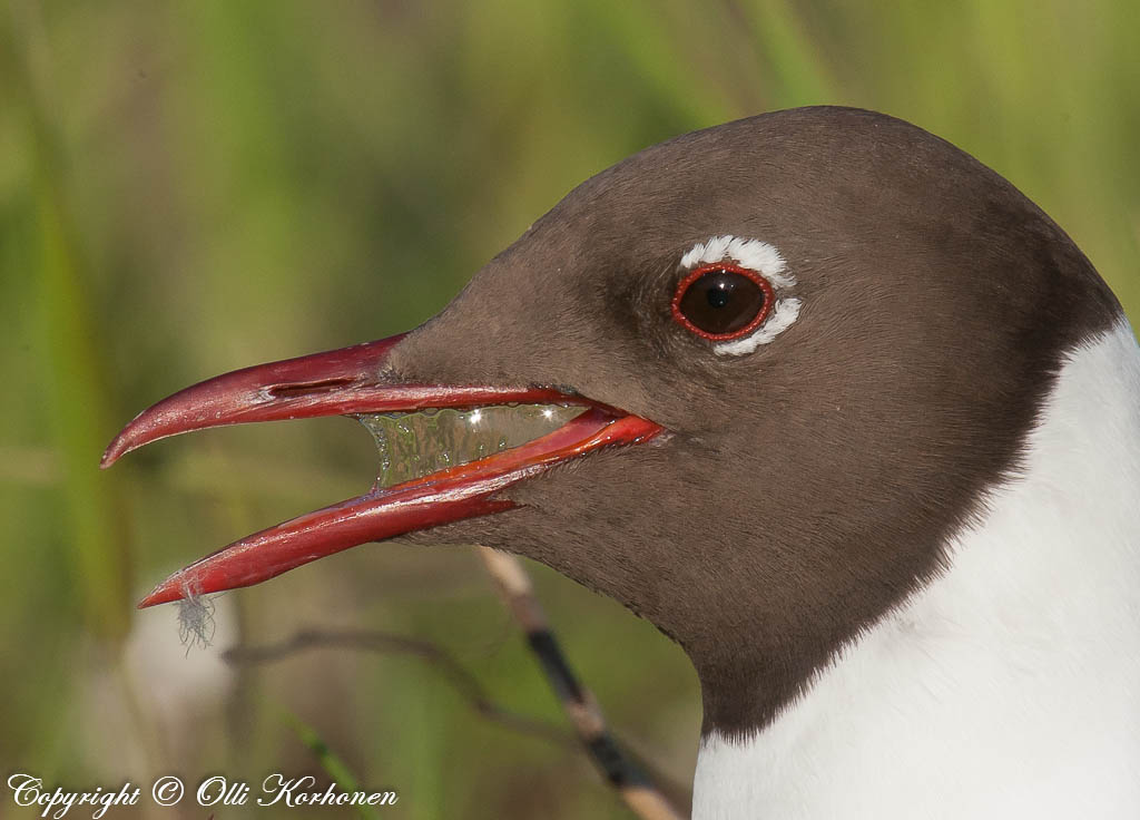 naurulokki, black-headed gull, mouette rieuse