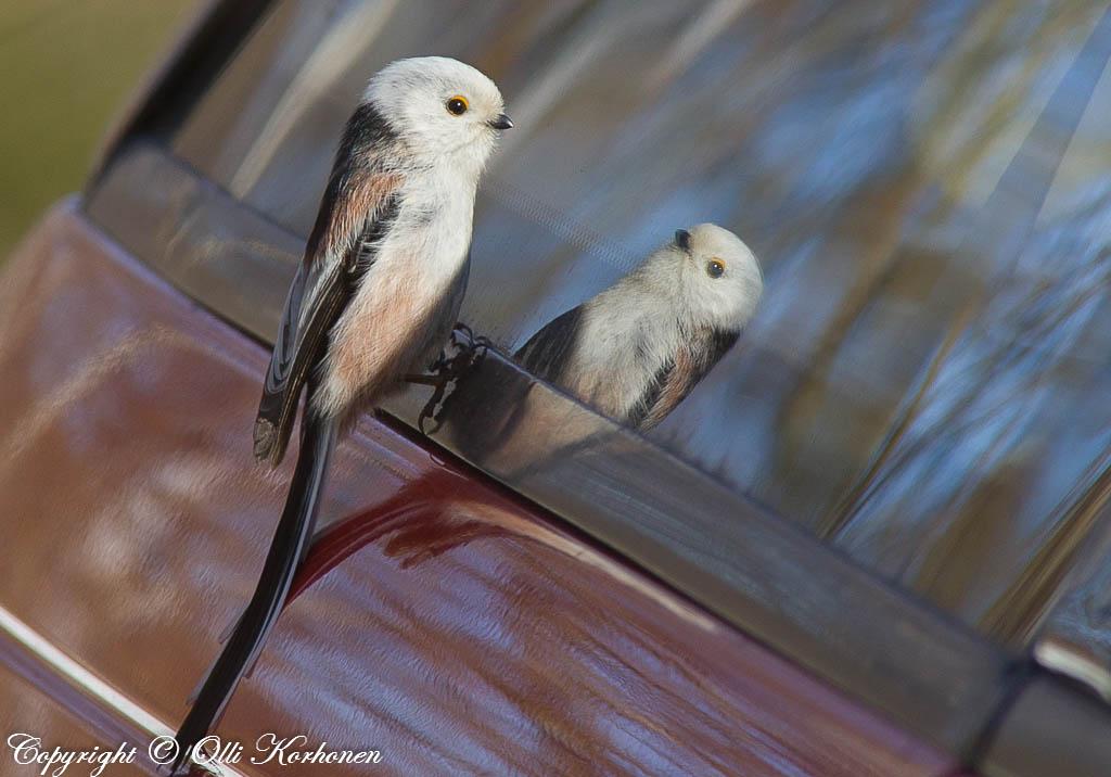 Pyrstötiainen ihailee peilikuvaansa