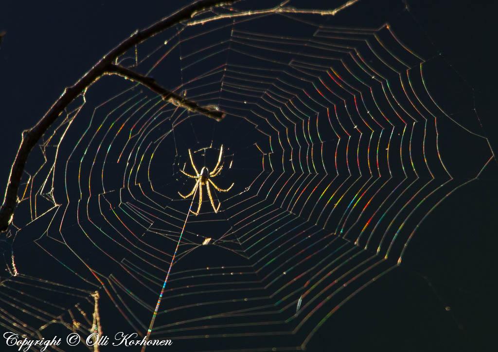 Värikäs hämähäkinseitti
