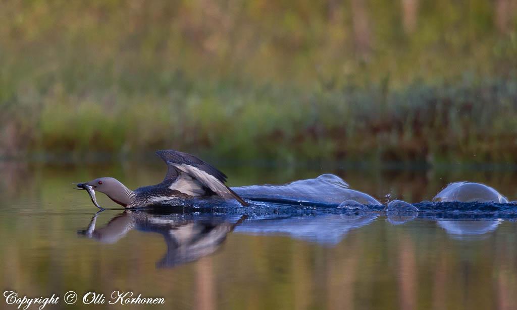 Kaakkuri laskeutuu veteen kala nokassaan.