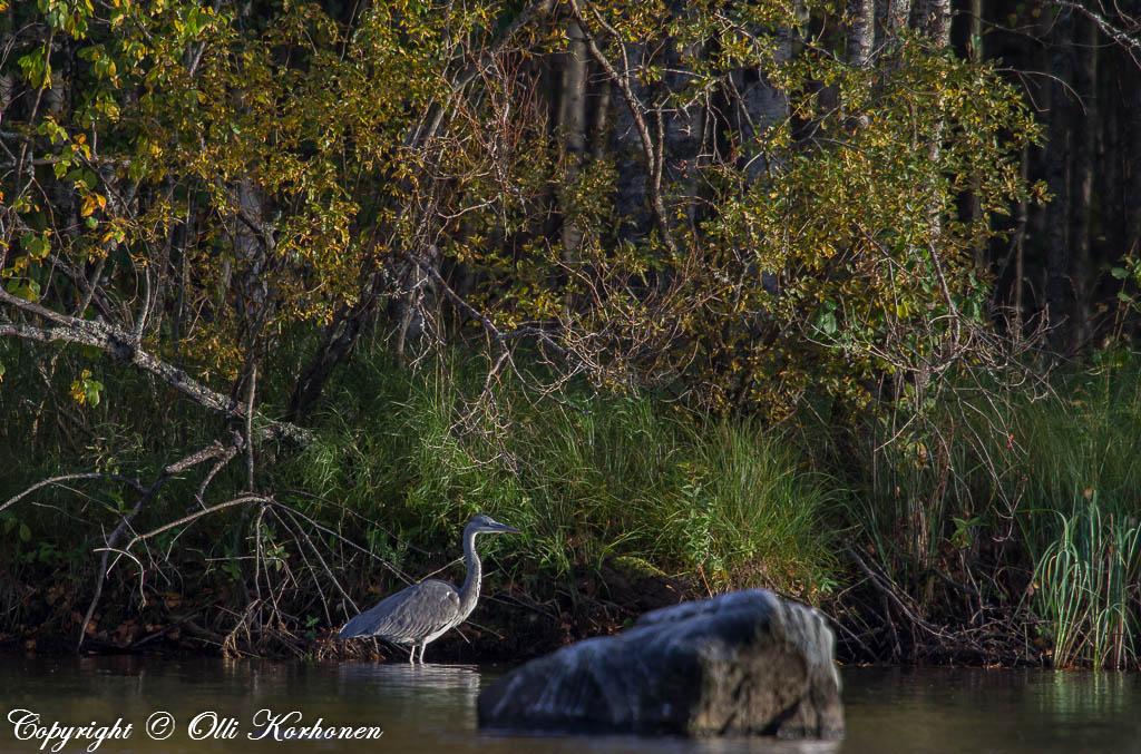 harmaahaikara,grey heron,héron cendré,gråhäger,graureiher