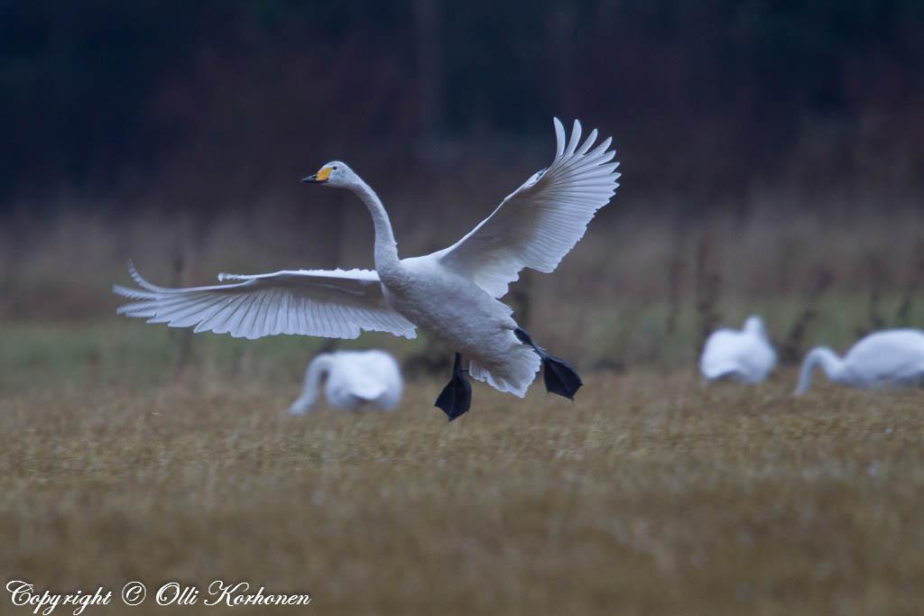 laulujoutsen,laskeutuu,whooper swan,landing