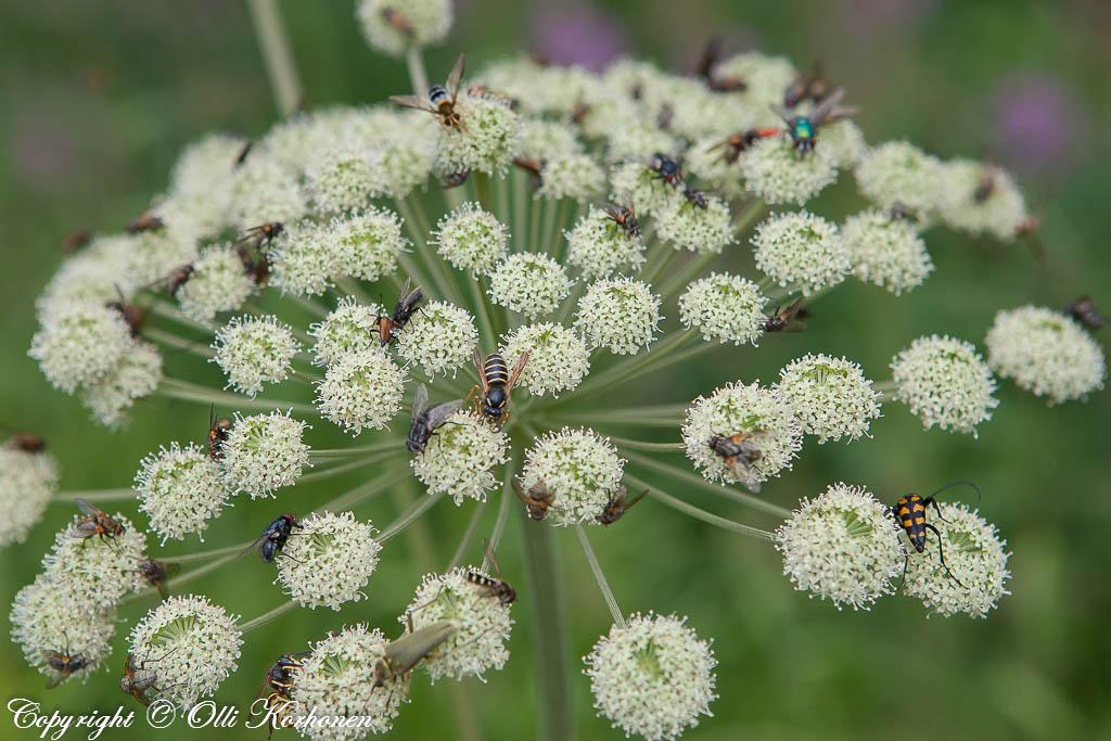 Paljon hyönteisiä kukassa heinäkuussa 2009
