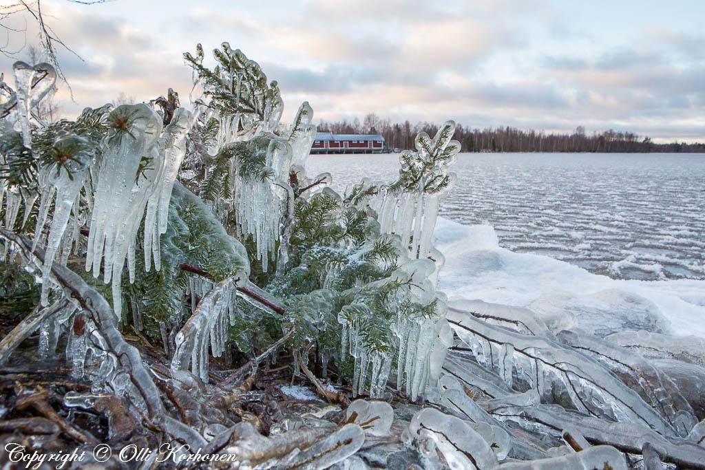 Jääpuikkojen peittämä nuori kuusi.