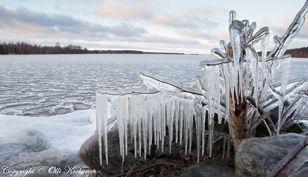 Jääpuikkojen peittämä katkennut koivu.