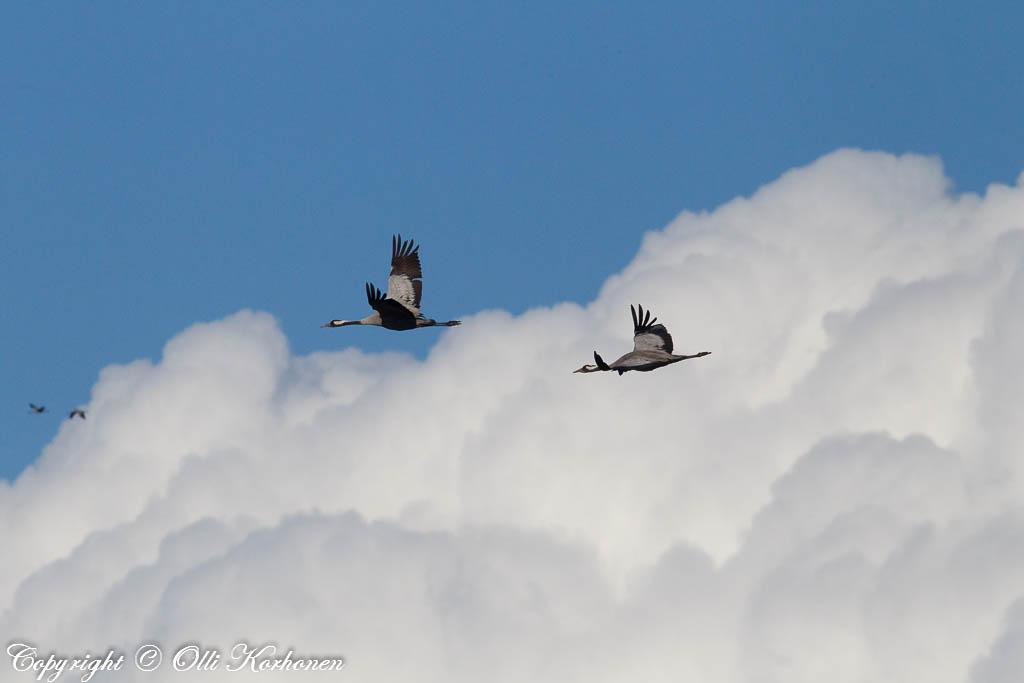 Kurjet lentävät pilvien yläpuolella