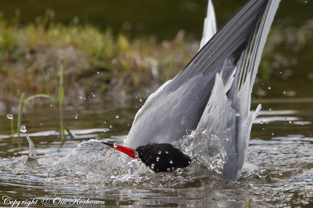 kalatiira,kylpevä lintu