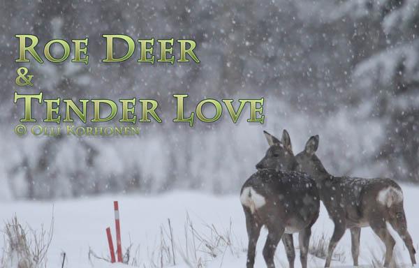 metsäkauris, lumisade, hellyys