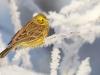 Keltasirkku huurteisella oksalla.