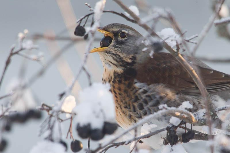 Räkättirastas lumisessa marja-aroniassa talvipäivänä.