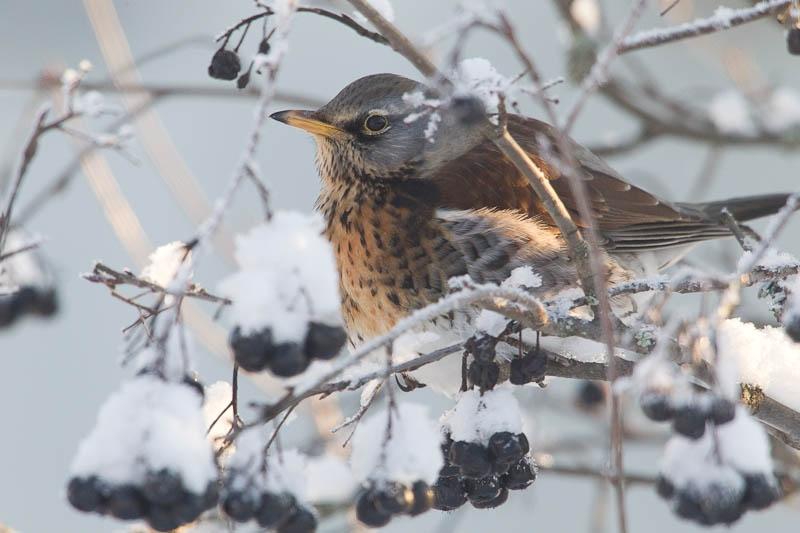 Räkättirastas lumisessa marjapensaassa talvipäivänä.