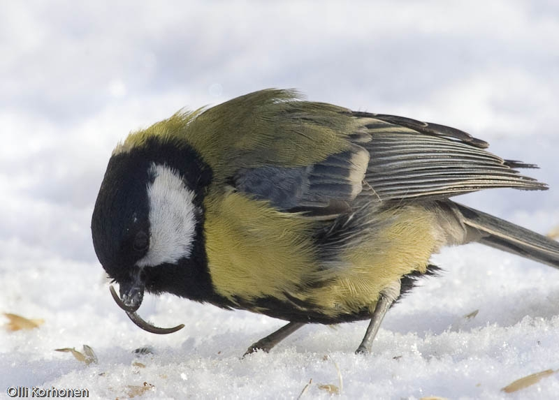 Suonenjoen Iisvedella saksinokkainen talitiainen vierailu lapi talven omakotitalon ruokinnalla. Helmikuu, 2005. Seuraavan talven tullen lintu palasi, mutta toinen leuista lyhenneena.