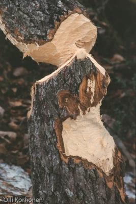 Majavan kaatama puu.
