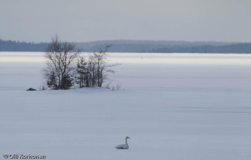 Laulujoutsen lepää lumipeitteisen järven selällä.