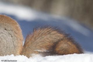 Oravan häntä.