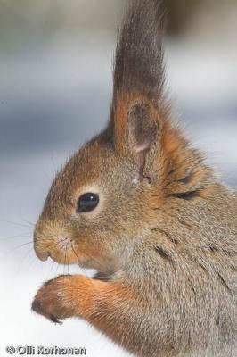 Oravan pää, sivuprofiili.