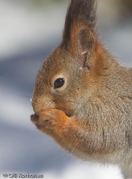 Kuiskaava orava.