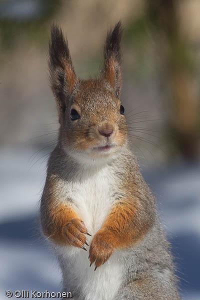 Ihmettelevä orava.