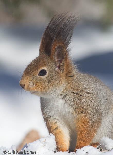 Vauhdikas orava.