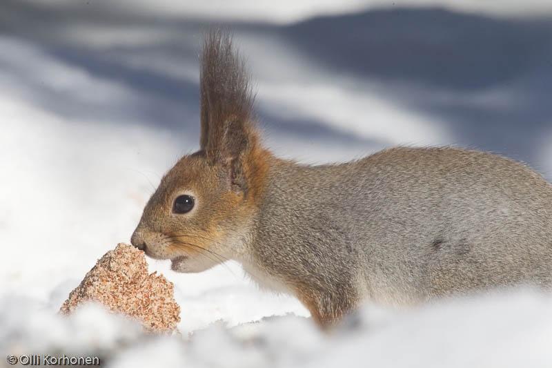 Nuuhkiva orava.