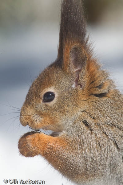 Rukoileva orava.