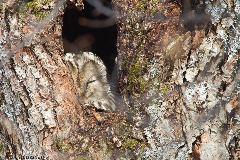 Viirupöllö torkkuu pesäkolollaan.