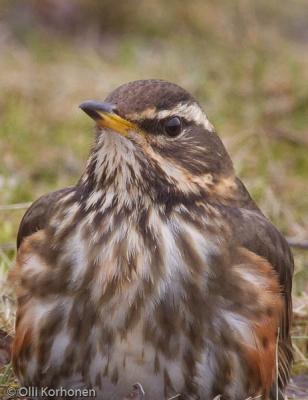 Tämä punakylkirastas on oikea angry bird.