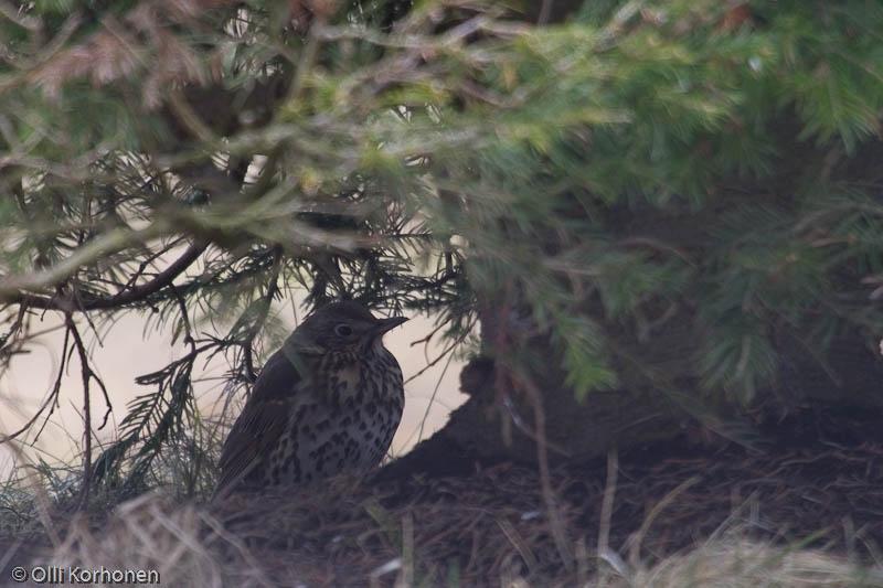 Laulurastas lepää maassa kuusen oksien alla.