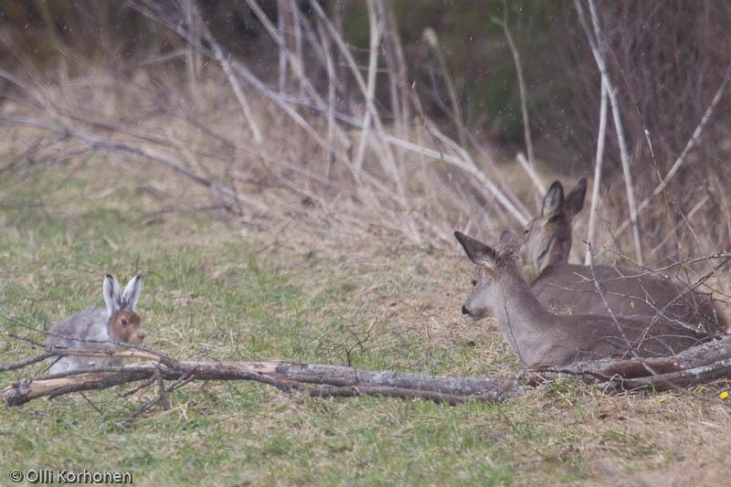 Metsäjänis ja metsäkauris tuijottavat toisiaan.