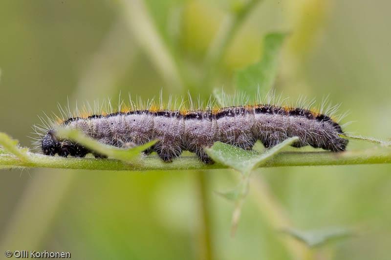 Pihlajaperhosen toukka.