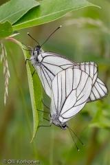 Pihlajaperhoset parittelevat.
