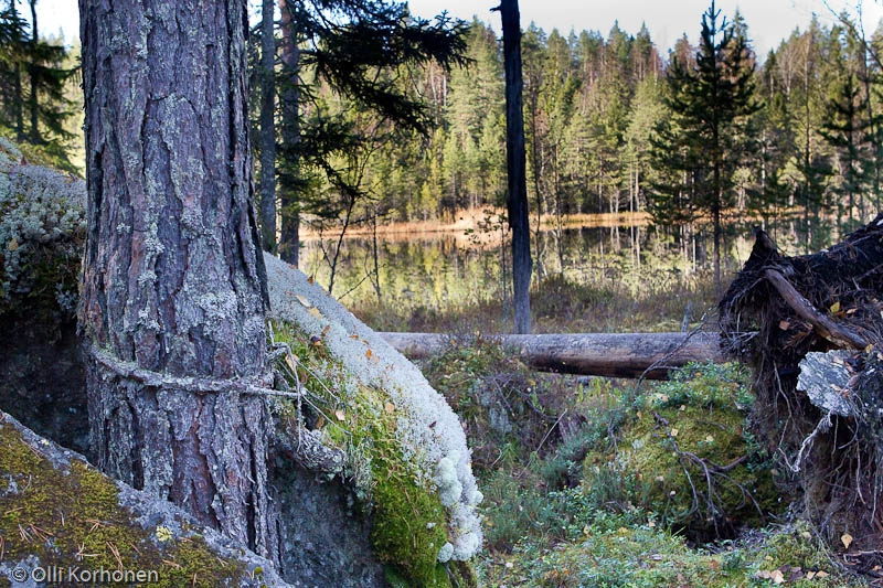 Kylki-Kurikka-järven outo mänty.