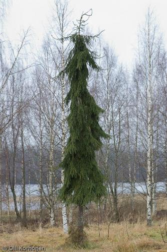 Surukuusi, Suonenjoki.