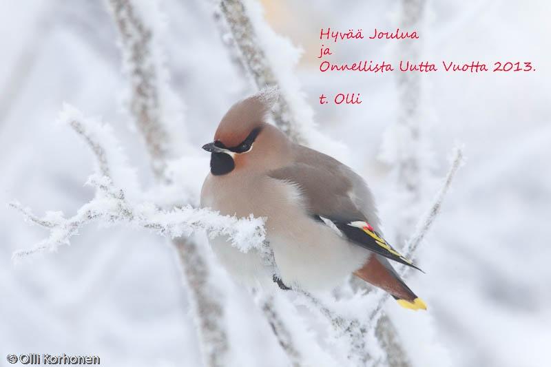 Tilhi kuuraisella oksalla jouluaaton aattona, joulukortti 2012.