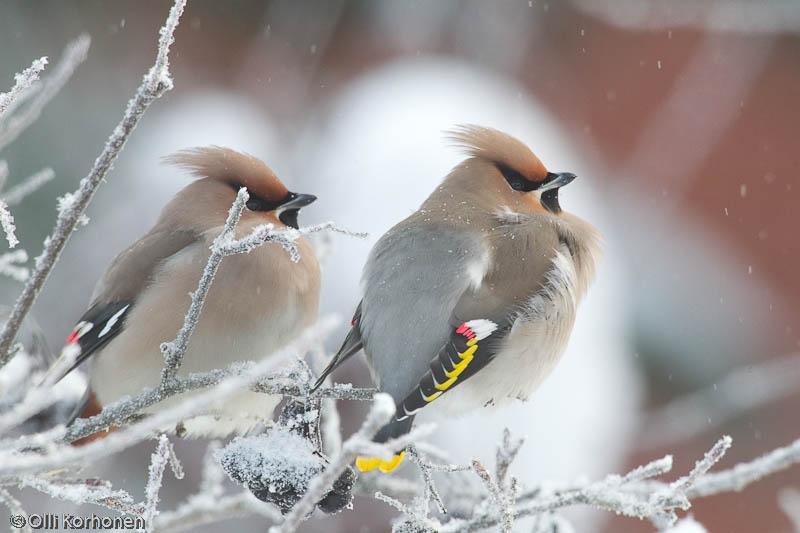 Kaksi tilheä pakkasella lumisateessa.
