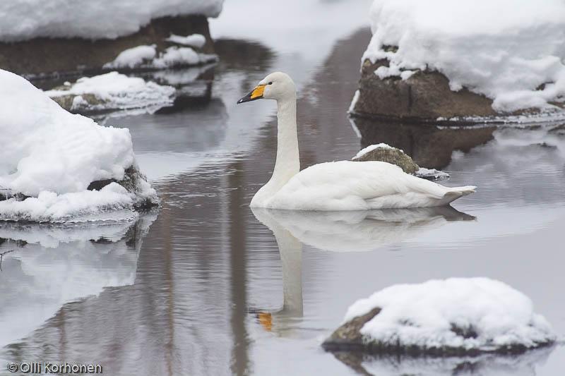 Yksinäinen laulujoutsen talvehtii pienessä sulapaikassa.